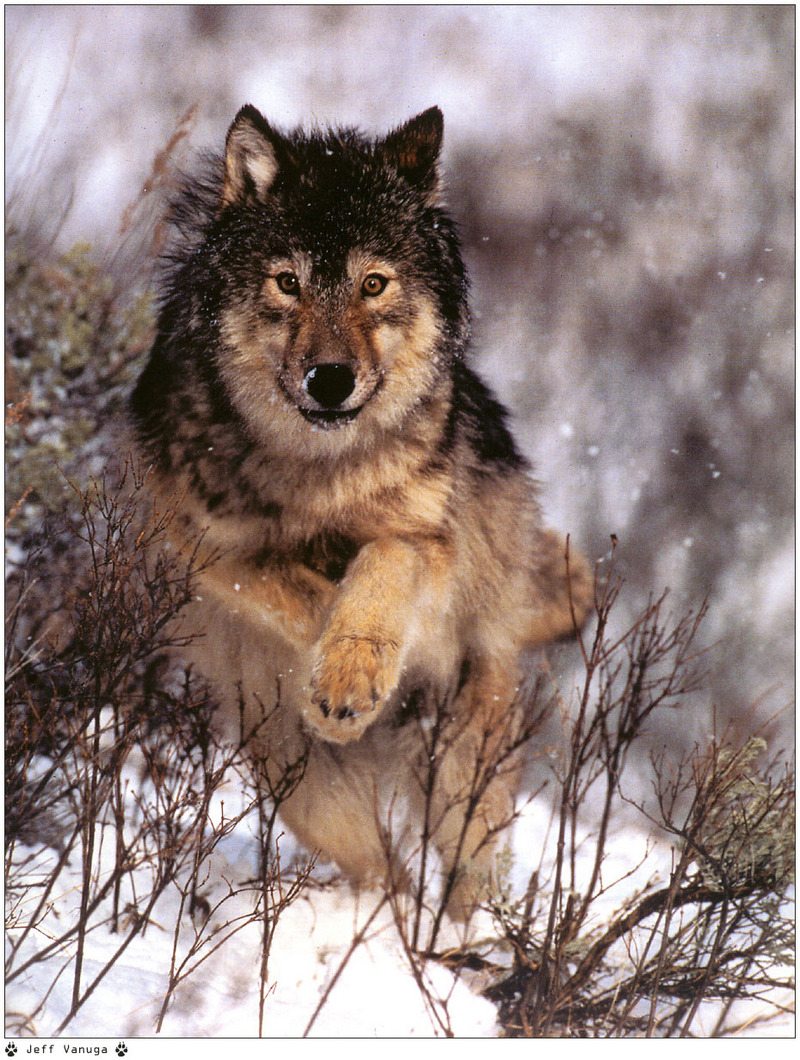 [Wolfsong Calendar 1999] 01 Gray Wolf <!--회색이리-->; DISPLAY FULL IMAGE.