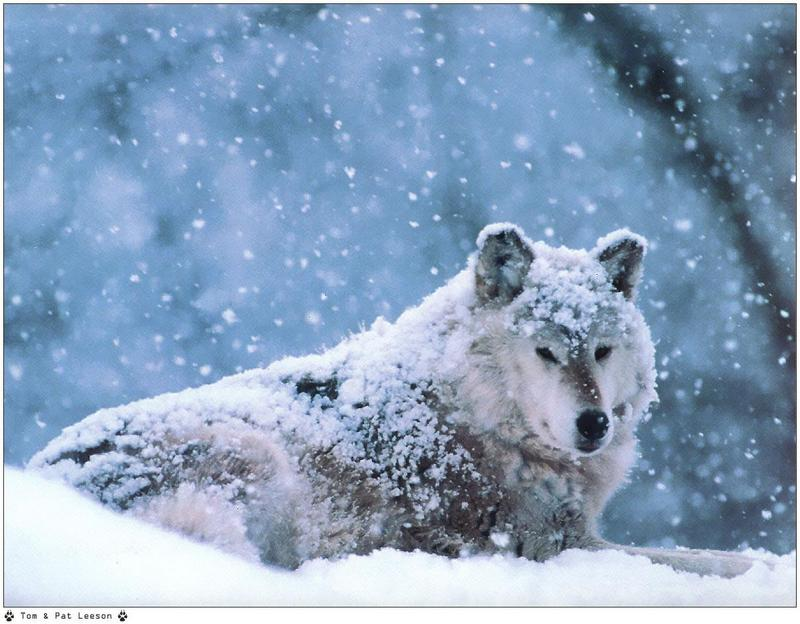 [Wolfsong Calendar 1999] 03 Gray Wolf <!--회색이리-->; DISPLAY FULL IMAGE.