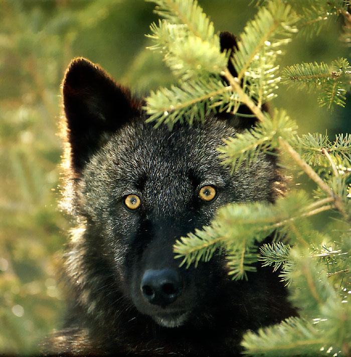 Black Wolf (Canis lupus) {!--흑랑(黑狼)-->; Image ONLY