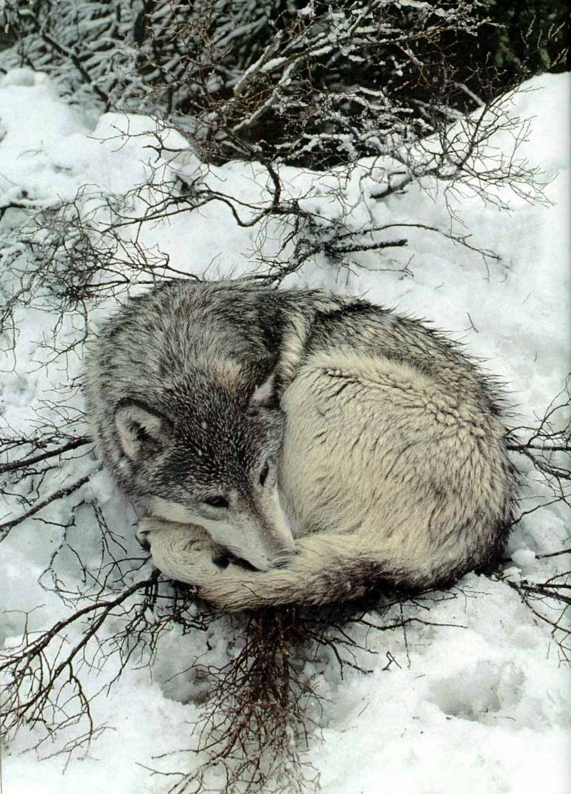 Gray Wolf (Canis lupus) {!--회색이리-->; DISPLAY FULL IMAGE.