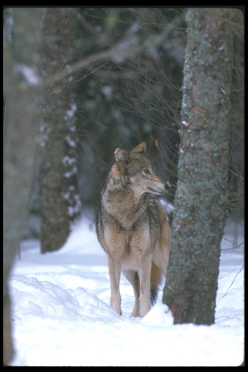 gray wolf canis lupus display full image dog breeds picture