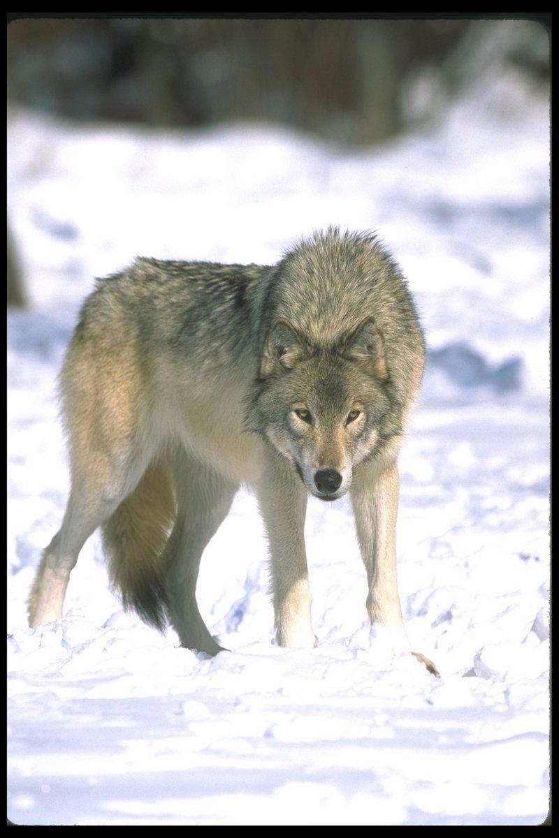 Gray wolf canis lupus 회색이리 gt display full image