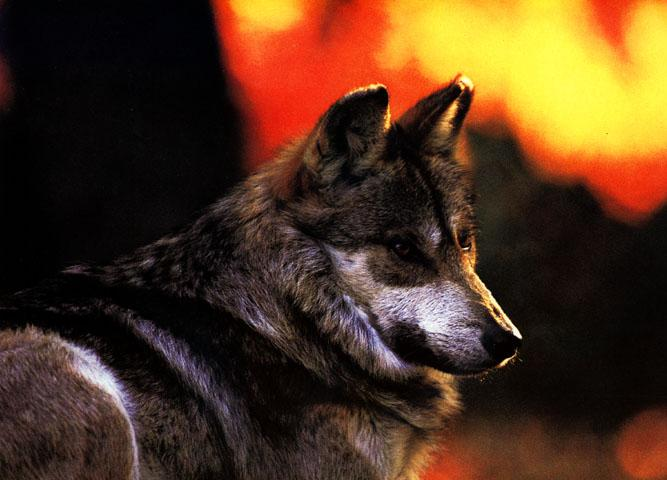 Mexican Gray Wolf (Canis lupus baileyi) {!--회색이리-->; Image ONLY