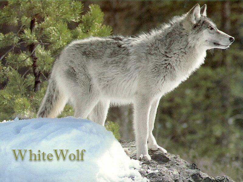 White wolf canis lupus 회색이리 gt image only