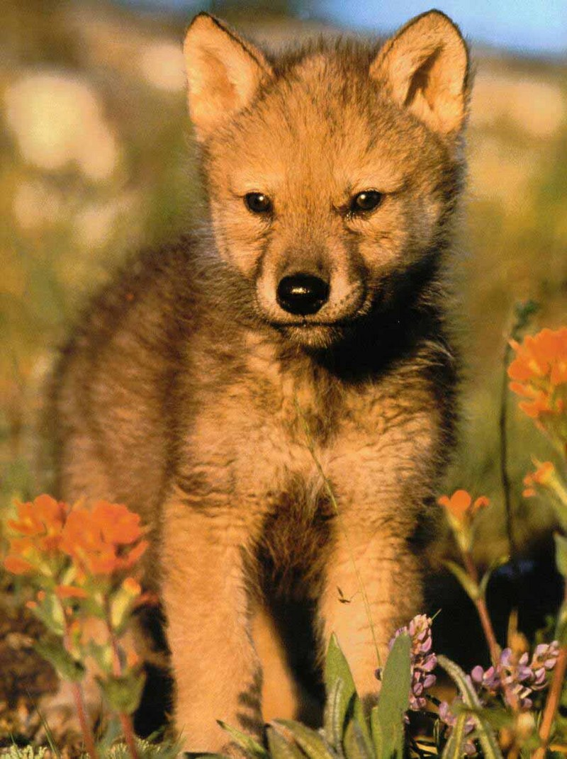 Gray Wolf pup (Canis lupus) <!--회색이리-->; DISPLAY FULL IMAGE.