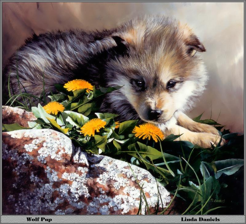 p-bwa-37-Gray Wolf Pup-with wild flowers-Painting by Linda Daniels.jpg