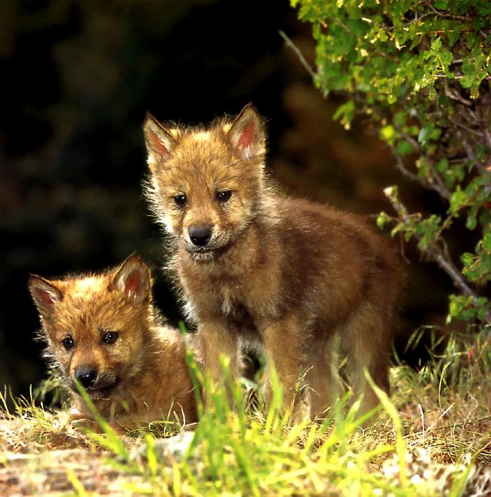 Gray Wolf pups (Canis lupus) {!--회색이리-->; Image ONLY