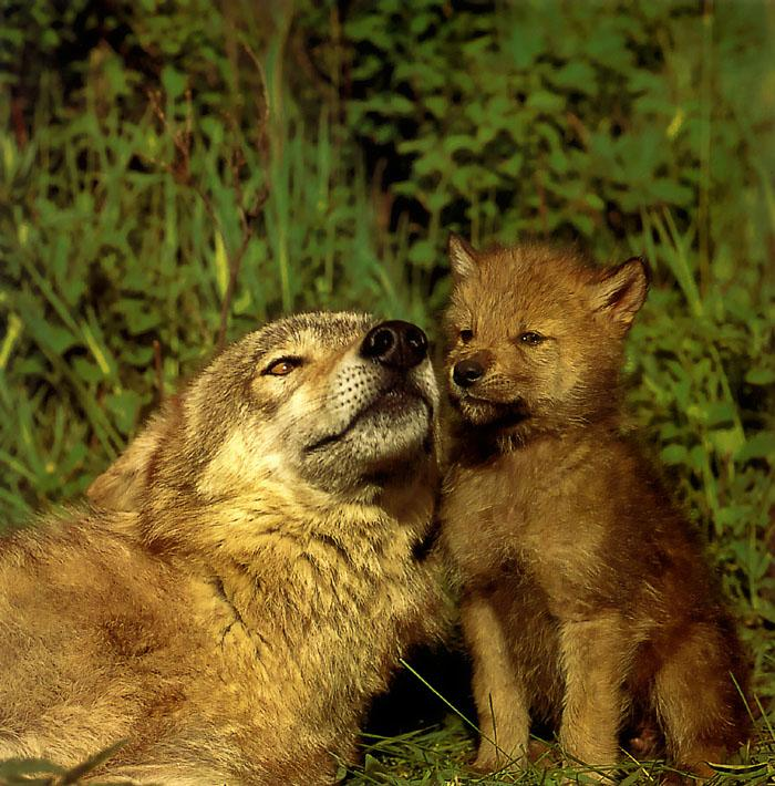 Gray Wolf mother and pup (Canis lupus) {!--회색이리-->; Image ONLY