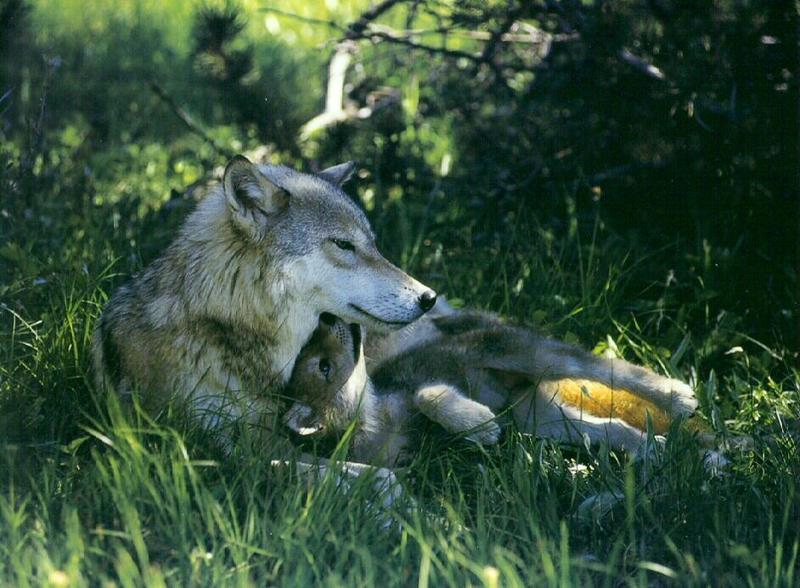 Gray Wolf mother and pup (Canis lupus) <!--회색이리-->; DISPLAY FULL IMAGE.