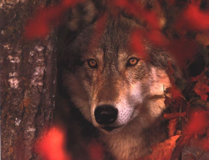 Gray Wolf (Canis lupus) {!--회색이리-->; Image ONLY