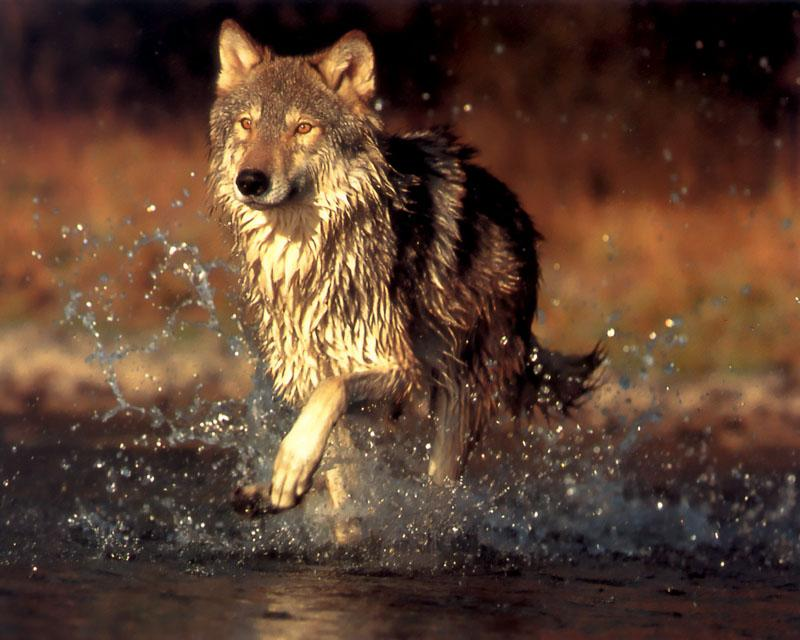 p-wolf07-Gray Wolf-wet-runs in stream.jpg