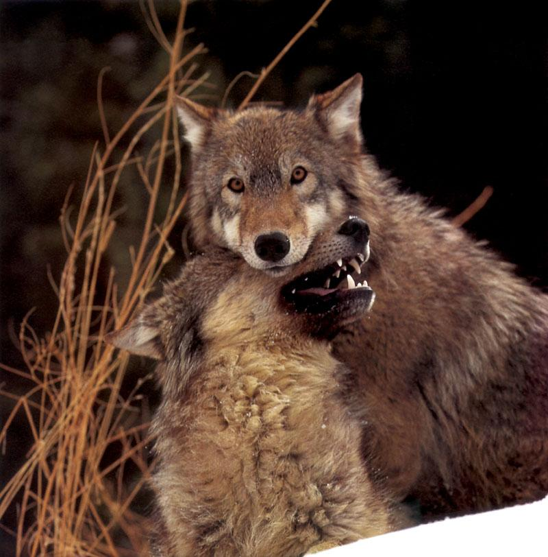 Pictures canis lupus grey wolf information grey wolf facts pictures