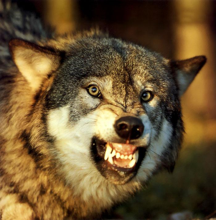 p-wolf36-Gray Wolf-snarling face.jpg