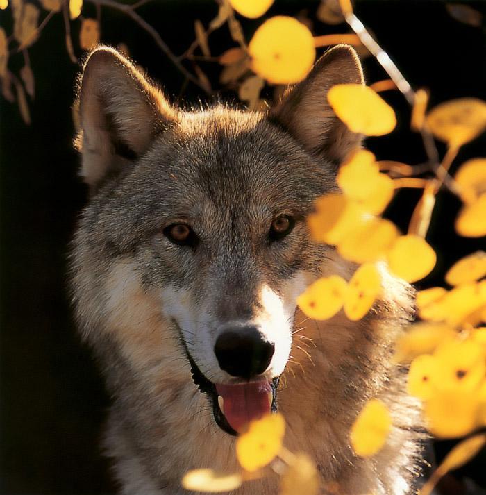 p-wolf45-Gray Wolf-face closeup.jpg