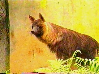 Brown Hyena (Parahyaena brunnea) <!--갈색하이에나-->; Image ONLY