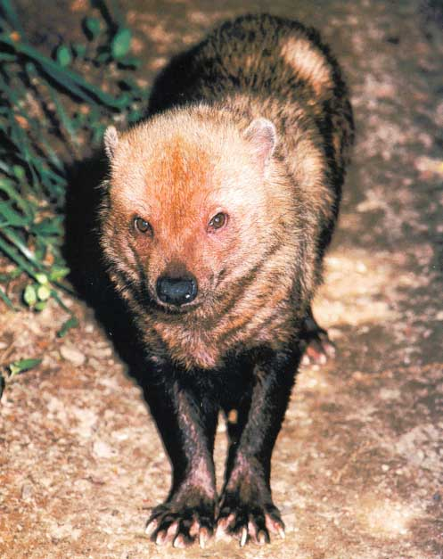 Bush Dog (Speothos venaticus) <!--숲개-->; Image ONLY