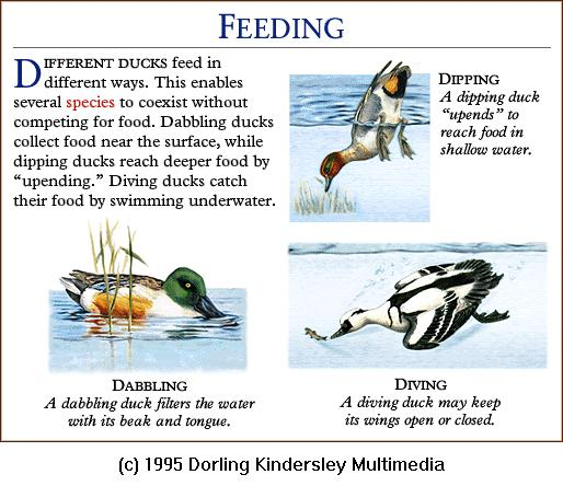 Ducks feeding <!--오리류의 먹이찾기-->; Image ONLY