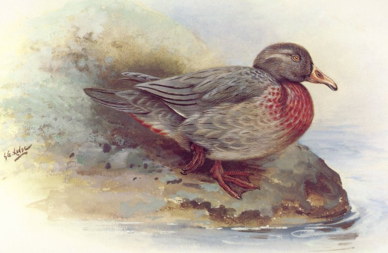 [Animal Art] Whio, the Blue Duck (Hymenolaimus malacorhynchos) <!--청오리-->; DISPLAY FULL IMAGE.