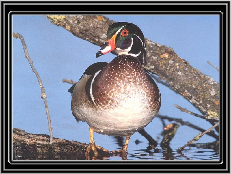 Wood Duck (Aix sponsa) <!--아메리카원앙-->; DISPLAY FULL IMAGE.
