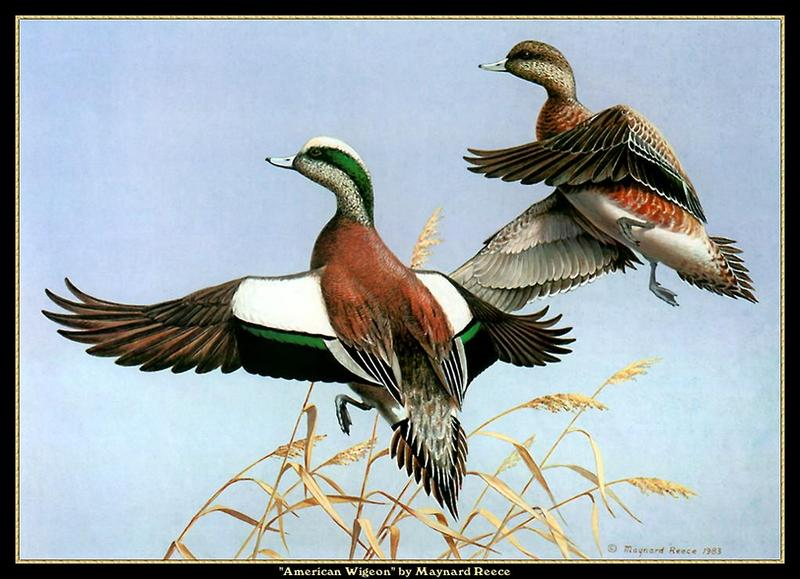 [Animal Art - Maynard Reece] American Wigeon pair (Anas americana) <!--아메리카홍머리오리-->; DISPLAY FULL IMAGE.