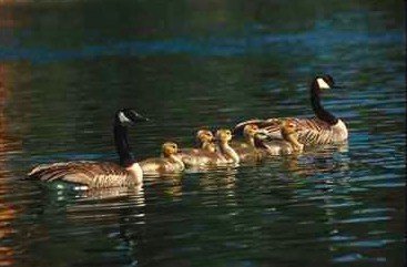 Canada Geese and goslings (Branta canadensis) <!--캐나다기러기-->; Image ONLY