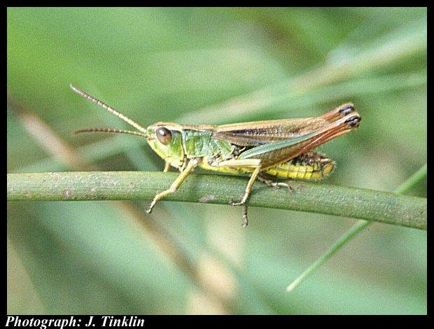 Common Green Grasshopper (Omocestus viridulus) <!--구대륙메뚜기-->; Image ONLY