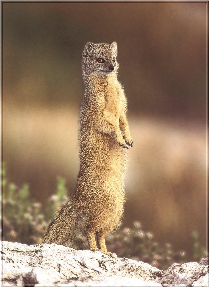 Yellow Mongoose (Cynictis penicillata) {!--노랑몽구스(여우몽구스)-->; Image ONLY