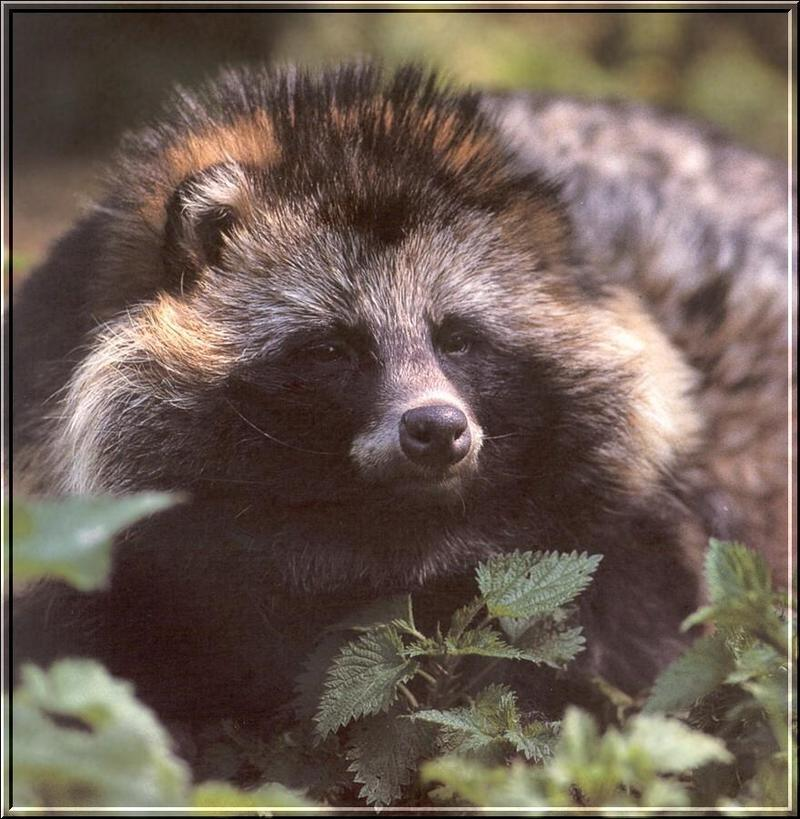Raccoon Dog (Nyctereutes procyonoides) <!--너구리-->; DISPLAY FULL IMAGE.