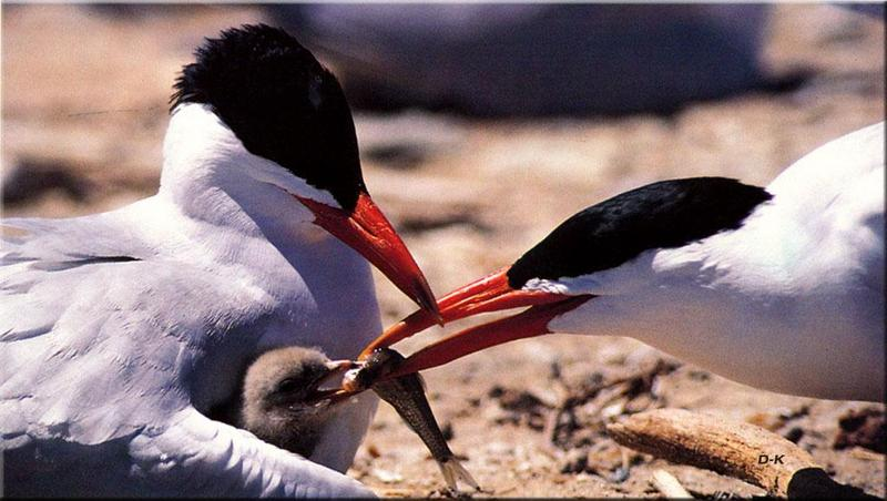 Caspian Terns (Sterna caspia) <!--붉은부리큰제비갈매기-->; DISPLAY FULL IMAGE.
