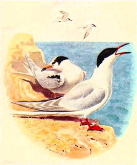 [Animal Art] Common Tern pair (Sterna hirundo) <!--제비갈매기-->; Image ONLY