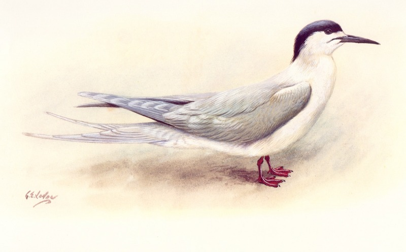 [Animal Art] White-fronted Tern (Sterna striata) <!--흰이마제비갈매기-->; DISPLAY FULL IMAGE.