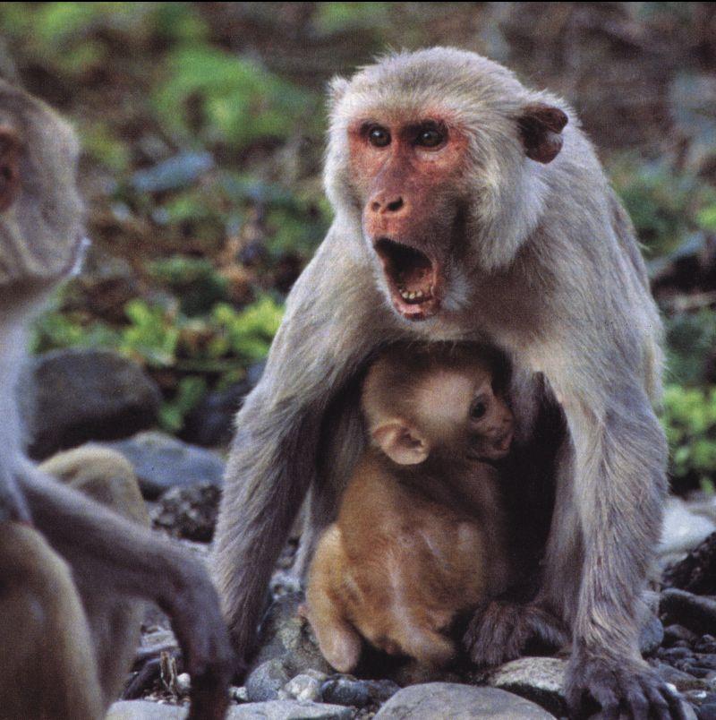 monkey Scream 1-Monkeys-mom and baby.jpg