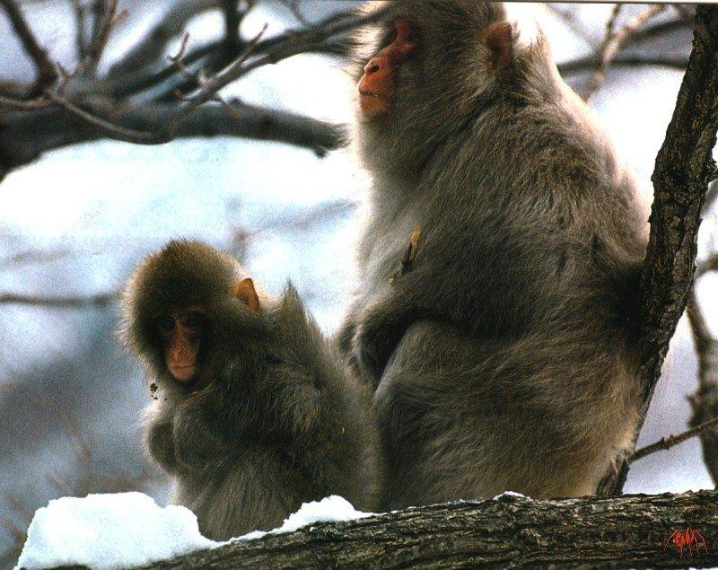 Japanese Macaque, Snow Monkey (Macaca fuscata) <!--일본원숭이-->; Image ONLY