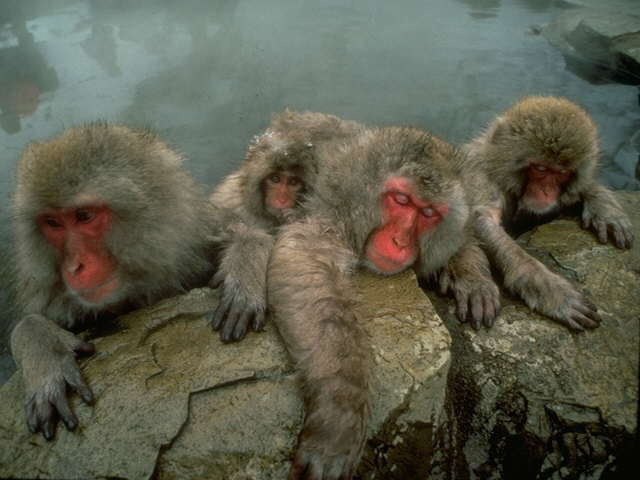 S095217-Japanese Macaques-or-Snow Monkeys-family in hot spring.jpg