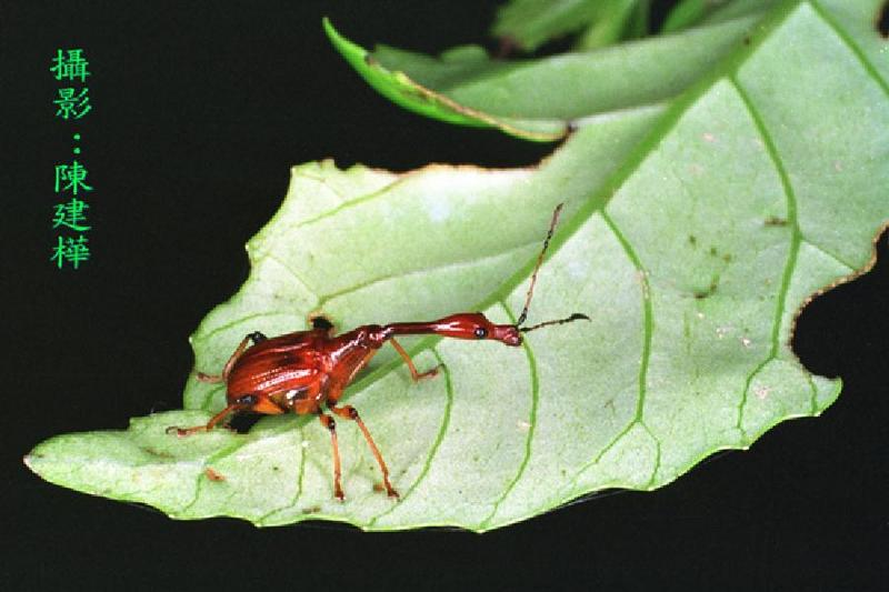 Leaf-roller Weevil <!--거위벌레류-->; DISPLAY FULL IMAGE.