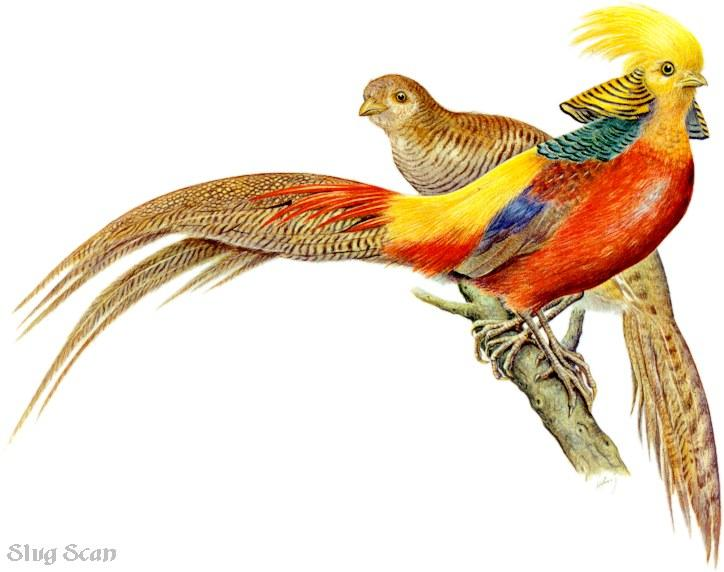 [Animal Art] Golden Pheasant pair (Chrysolophus pictus) <!--금계(金鷄)-->; Image ONLY