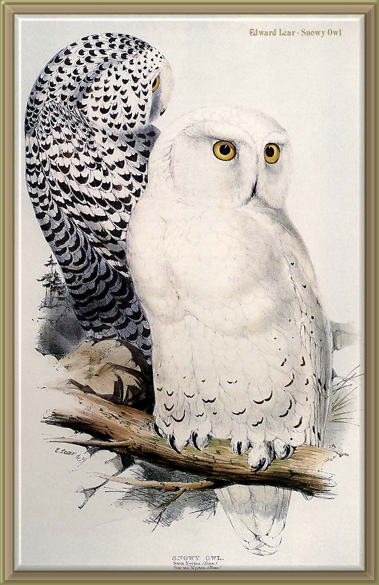 [Animal Art - Edward Lear] Snowy Owl (Nyctea scandiaca) <!--흰올빼미-->; Image ONLY