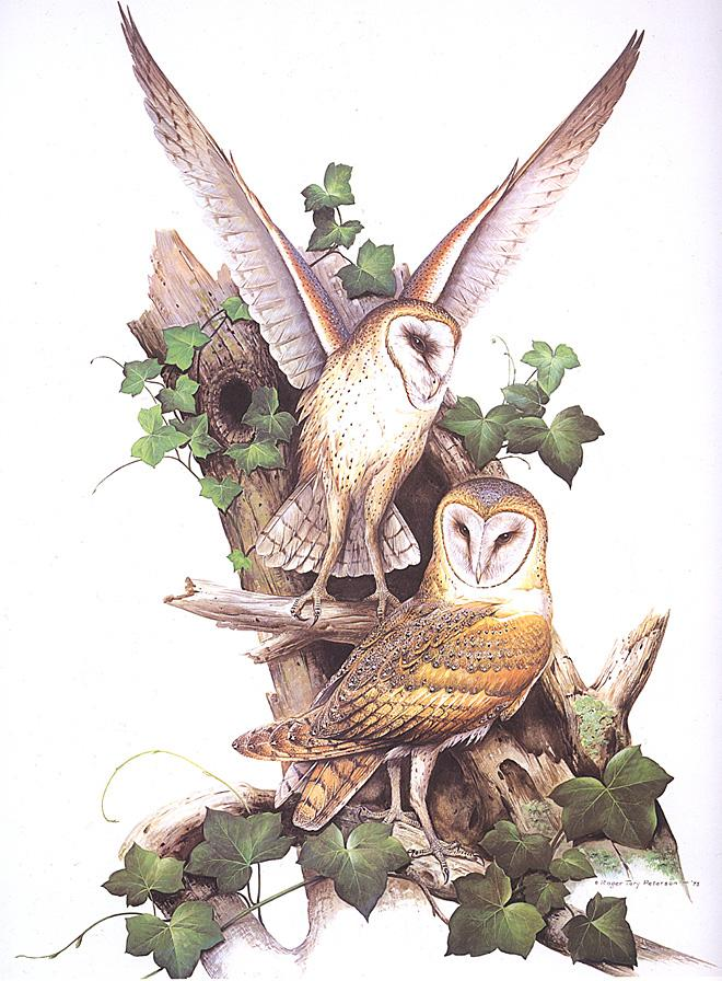 Barn Owl Art