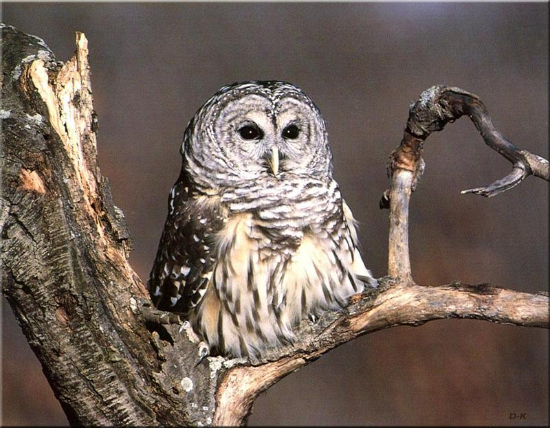 Barred Owl (Strix varia) <!--줄무늬올빼미-->; DISPLAY FULL IMAGE.
