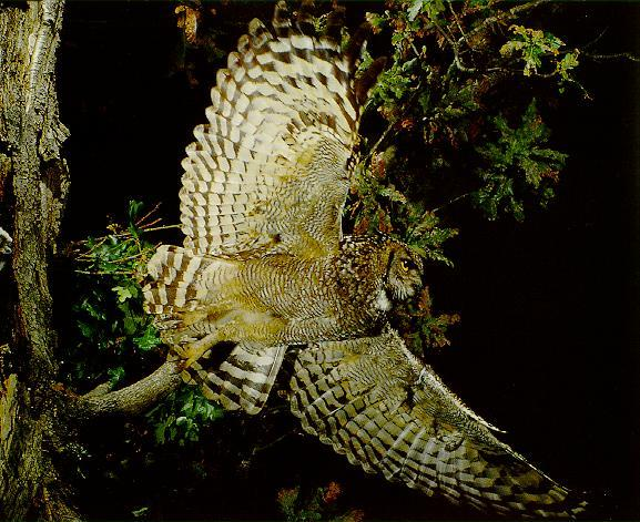 Eagle Owl <!--수리부엉이류-->; Image ONLY