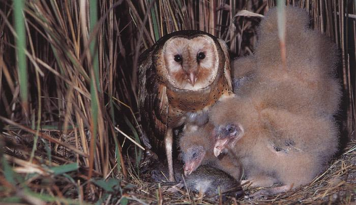 Eastern Grass Owl mother and chicks (Tyto longimembris) <!--호주초원가면올빼미-->; Image ONLY