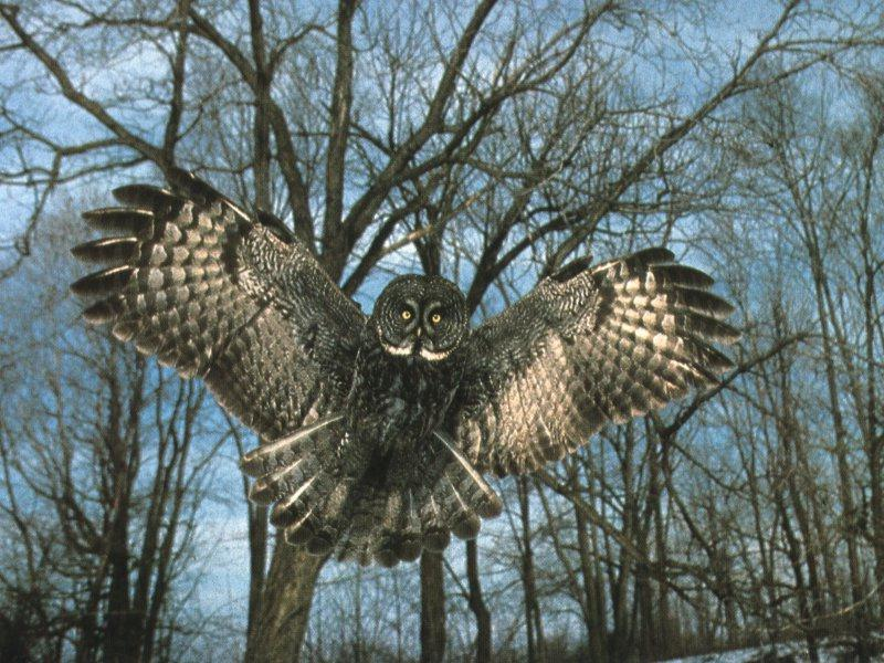 Great Grey Owl (Strix nebulosa) <!--큰회색올빼미-->; Image ONLY