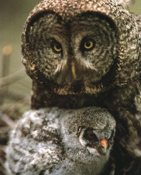 Great Grey Owl & owlet (Strix nebulosa) <!--큰회색올빼미-->; Image ONLY