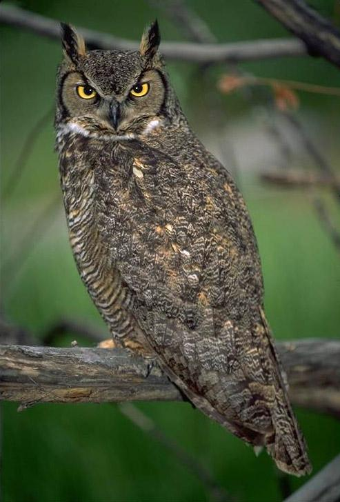 Great Horned Owl (Bubo virginianus) {!--큰뿔부엉이/아메리카수리부엉이-->; Image ONLY