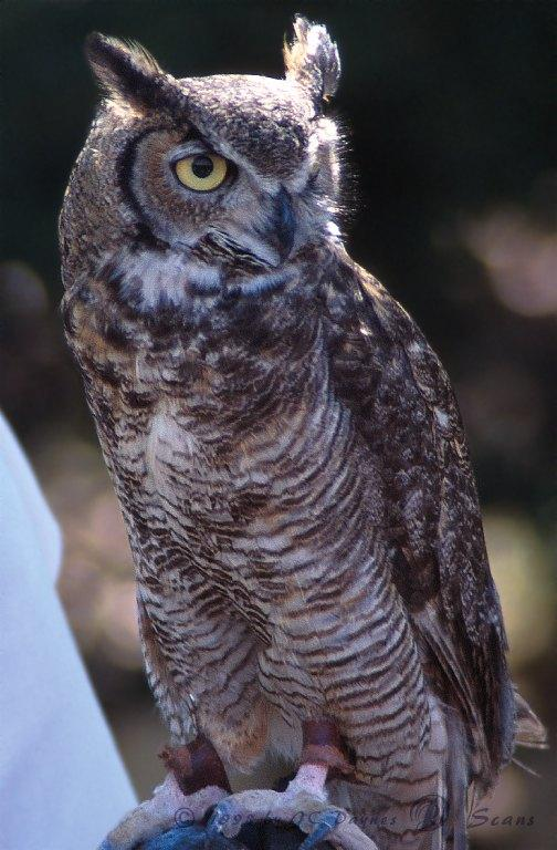 Great Horned Owl (Bubo virginianus) <!--큰뿔부엉이/아메리카수리부엉이-->; Image ONLY