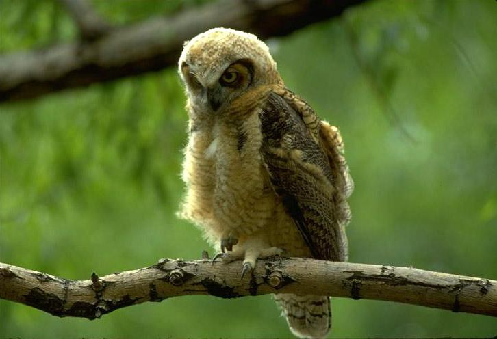 Great Horned Owl owlet (Bubo virginianus) <!--큰뿔부엉이/아메리카수리부엉이-->; Image ONLY