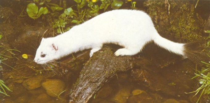 Stoat (Mustela erminea) <!--북방족제비,산족제비,짧은꼬리족제비-->; Image ONLY