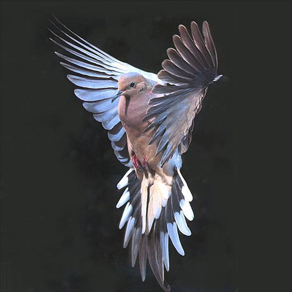 Mourning dove zenaida macroura 긴꼬리비둘기 gt image only