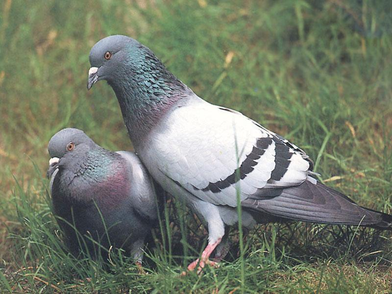 Rock Doves (Columba livia) <!--집비둘기-->; Image ONLY