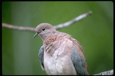 Laughing Dove, Senegal Dove (Streptopelia senegalensis) <!--세네갈노래비둘기-->; Image ONLY